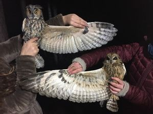 Long-eared and Short-eared Owl wing by A Sundvall Oct 19 3