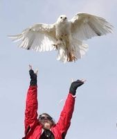 Leucistic Red-tailed Hawk by John Richardson (3)