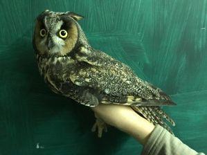 Long-eared Owl - K Maley - Sept 19