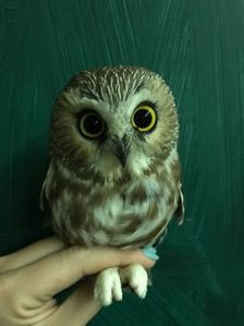 Northern Saw-whet Owl - K Maley - Sept 19