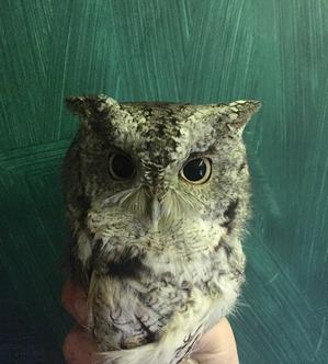 Eastern Screech Owl Oct 2019