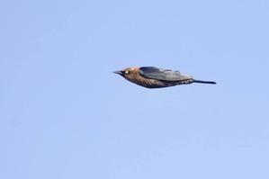Rusty Blackbird in flight Oct 2019 by J Richardson