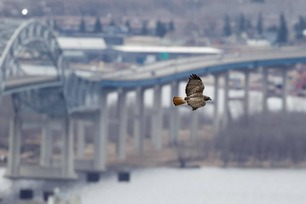 Red-tailed Hawk Apr 20 by J Richardson 2