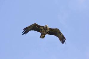 Bald Eagle - J Richardson Sept 19