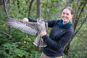 Banding Trainee - Abbie with Peregrine Falcon - Sept 19
