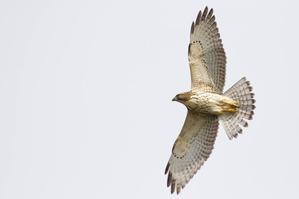 Broad-winged Hawk - J Richardson Sept 19 (2)