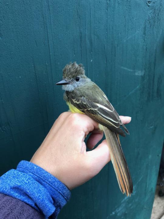 Great Crested Flycatcher - Sept 2019