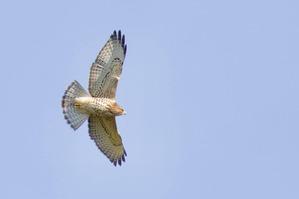 Juvenile Broad-winged Hawk - J Richardson - Sept 19