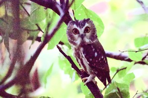 Northern Saw-Whet Owl by J Richardson Oct 19