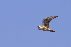 Peregrine Falcon with full crop - J Richardson Sept 19 2