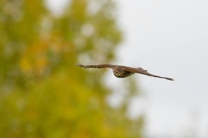 Sharp-shinned Hawk - J Richardson Sept 19