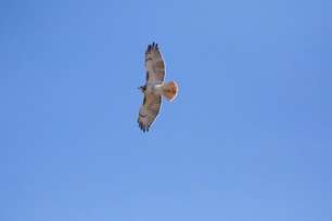 Red-tailed Hawk April 5 2020 by J Richardson