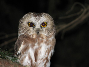 Northern Saw-whet Owl by D Petersen