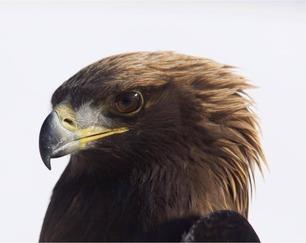 Banded Golden Eagle Oct 20 by J Richardson