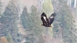 Golden Eagle by J Richardson