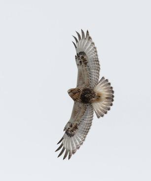 Rough-legged Hawk By J Heinen