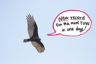 Turkey Vulture record day Oct 1 2020