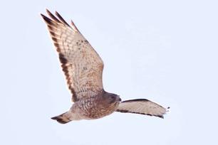 First Broad-winged Hawk of Hawk Ridge Spring Count 2019
