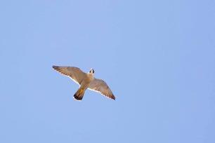 Peregrine Falcon by J Richardson April 2019