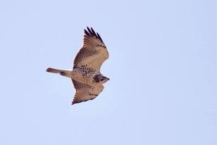 Swainson's Hawk Juvenile by J Richardson 5-4-19