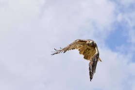 Red-tailed Hawk - J Richardson - Sept 19 4