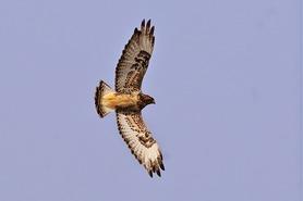 Rough-legged Hawk by Karl Bardon