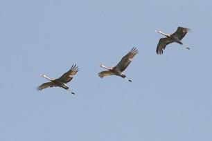 Migrating Sandhill Cranes 2018 by J Richardson 2
