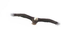 Bald Eagle by John Richardson