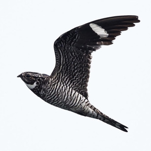 Common Nighthawk Aug 2020 by A Witchger